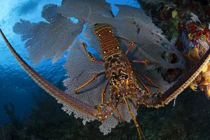 Spiney-Lobster-Belize